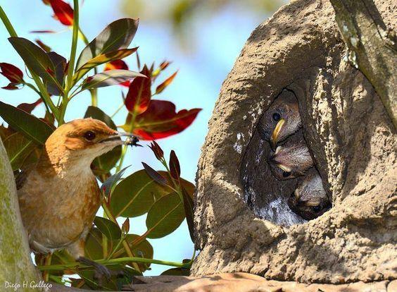 joao-de-barro-filhotes