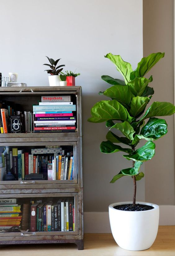 planta-ficus