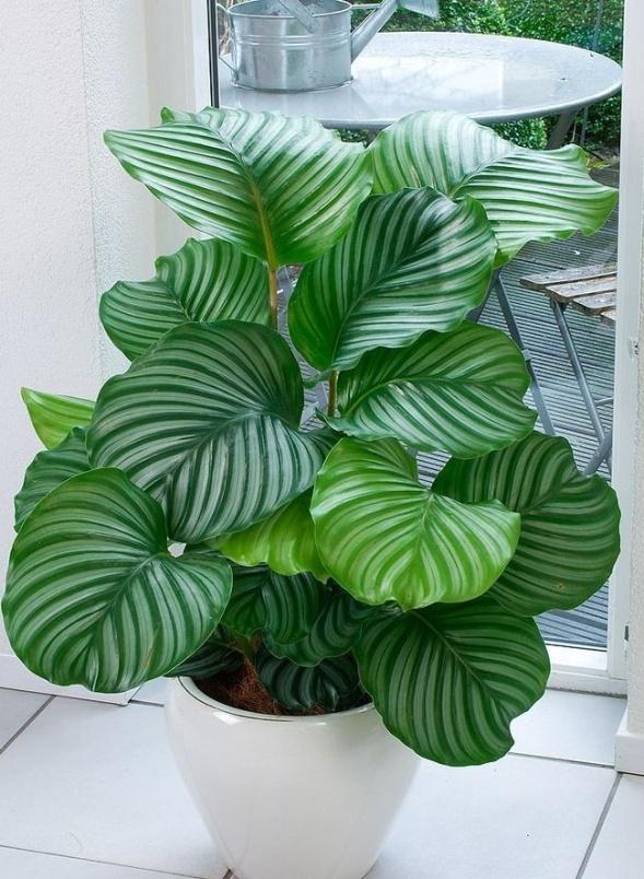 plantas-calathea