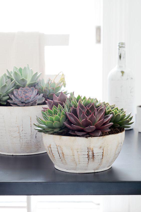 plantas-echeverias