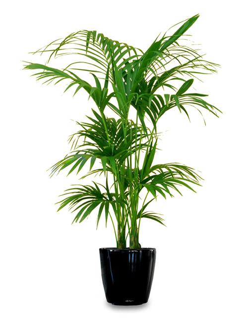 plantas-kentia-palm