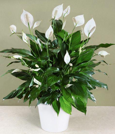 plantas-peace-lily