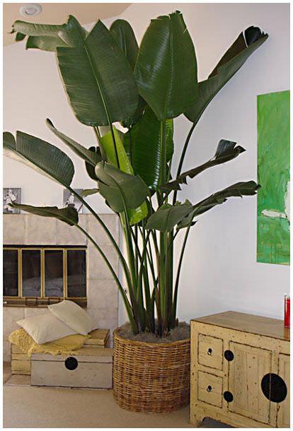 plantas-philodendro