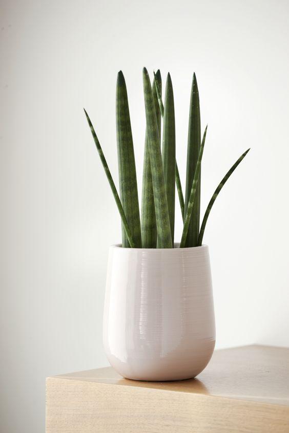 plantas-sanseveria-cilindrica
