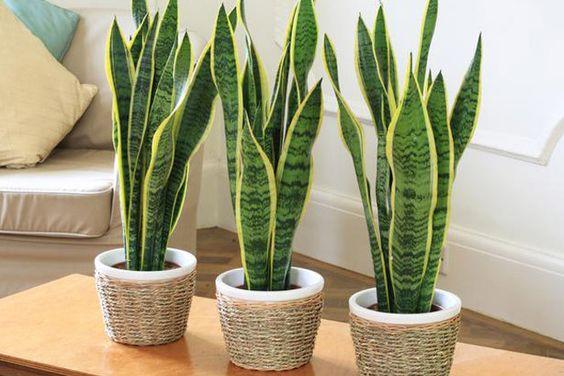 plantas-sanseveria