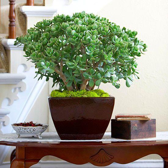 plants-crassula