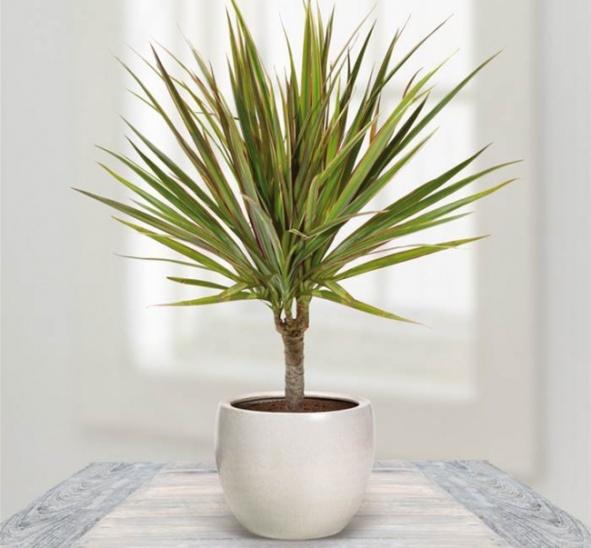 plants-dragon-tree